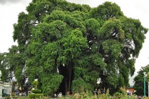 La forma del árbol: El Tule  la memoria de Italo Calvino