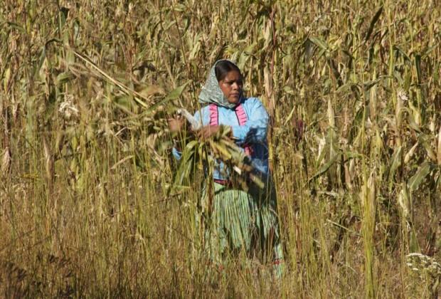 En defensa del maíz en México: sentencia contra las trasnacionales y el gobierno