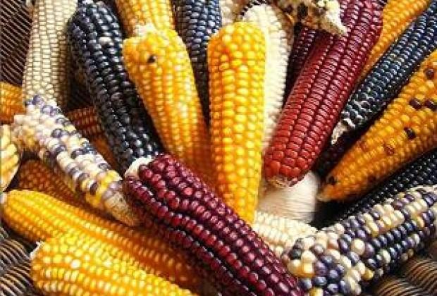 Tribunal federal suspende toda la siembra de maíz transgénico