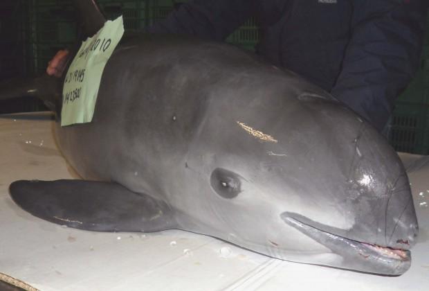 La cocaína del mar que mata a la vaquita marina en el Mar de Cortés